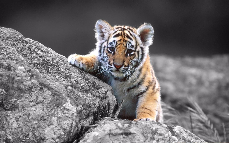 可爱老虎宝宝高清壁纸大全 - 动物 - 图片频道 - 苏州